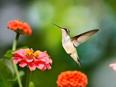 Elegant Ruby Throated Hummingbird flying in summer garden with colorful flowers. 8x10 Hummingbird photography print, professional grade photo