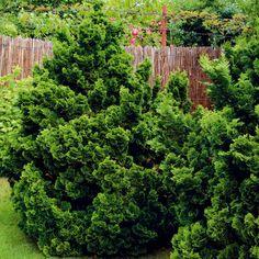 Ihličnany do malej záhrady Chamaecyparis obtusa 'Nana Gracilis Plants, Planters, Plant, Planting