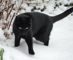 Beautiful black cat. I do this because I love black cats. Black has many meanings, but evil is not one of them for animals. If I can change the minds of some people that cats and dogs and other black animals are not evil and not unlucky. Then I feel this is worth the effort.  Happy Black Cat Tuesday from The Incensewoman