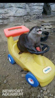 Newport Aquarium в Твиттере: «Porkchop is excited @Nascar driver @Brendan62 will…