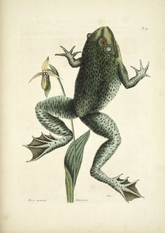 Peter Collinson frog engraving / Collections of Objects / Collections of Things / Displaying / Vintage / Ideas / Nature / Antique