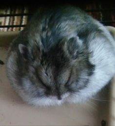 My little fluffy ball Cute Small Animals, Super Cute Animals, Cute Baby Animals, Animals And Pets, Hamster Care, Baby Hamster, Mythical Creatures Art, Lovely Creatures, Cute Hamsters
