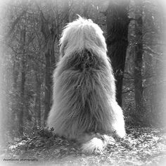 Odotan...odotanko turhaan..tuletko vai menetkö...odotan silti. Cute Puppies, Cute Dogs, Dogs And Puppies, Sheep Dogs, Doggies, Beautiful Dogs, Animals Beautiful, Fluffy Animals, Cute Animals
