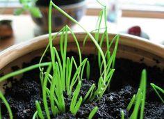 Tip: Indoor Herb Garden Tips  from organicauthority.com