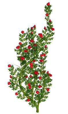 Rosebush PNG Picture