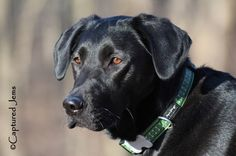 Captured Jems Photography - Pet Portraits Pet Portraits, Animal Photography, Labrador Retriever, Pets, Animals, Labrador Retrievers, Animales, Nature Photography, Animaux