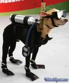 This is what my Pixie would look like if she did some SCUBA diving!!!