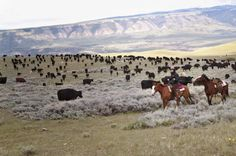 Livestock Ranching | tx ranch cattle drives wyoming wyoming cattle horse drives