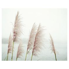 Botanical photography print wild sea grasses pale pink California wall... (120 RON) ❤ liked on Polyvore featuring home, home decor, wall art, horizontal wall art, photo-print, photography wall art, flower stem and black and white flower wall art