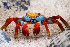 Los cangrejos más raros y bellos del mundo