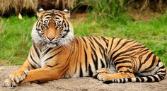 For all of these reasons, tigers were hunted and destroyed and today, sadly the Bengal tiger is an endangered species. Description from blog.tigerfriends.com. I searched for this on bing.com/images