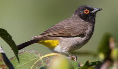 African Red-eyed Bulbul African, Birds, Red, Bird