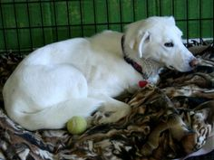 Linden;  Labrador Retriever: An adoptable dog in Brookings, SD.    Linden is a super sweet young lab. She loves to swim! She keeps her crate clean, but house training is unknown.   Go to Petfinder.com (zip code 57006 or type in your zip code to find pet by you). adopted