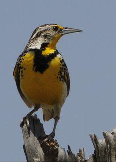 Wyoming State Bird   Western Meadowlark