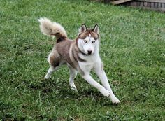 Gorgeous Husky!