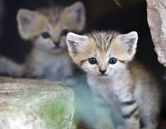 Gatitos del desierto israelíes (© Reuters/NIR ELIAS)