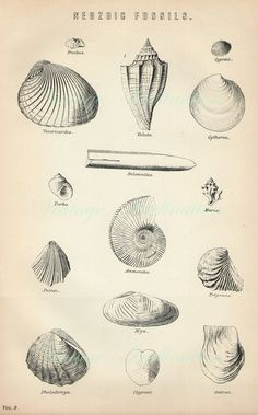 Antique Print, 1890 SHELL FOSSILS Chart beautiful wall art vintage b/w engraving illustration shells ocean sea. $15.00, via Etsy.