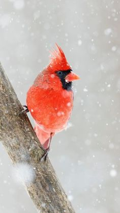 The latest iPhone11, iPhone11 Pro, iPhone 11 Pro Max mobile phone HD wallpapers free download, northern cardinal, bird, red, snow - Free Wallpaper   Download Free Wallpapers