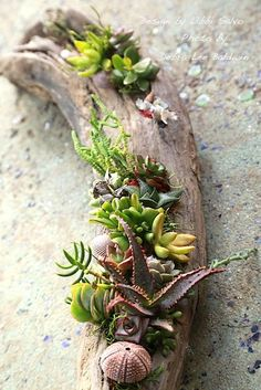 It's surprisingly easy to make a succulent driftwood planter that looks professionally designed. Driftwood pieces (from Sea Foam Driftwood) come with pre-drilled crevices for potting. Materials include small potted succulents, cuttings, sea shells, bits of tumbled glass, moss, rocks and sand.