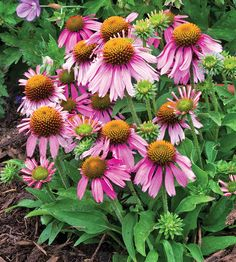 The perfect solution for small-space gardeners, 'Little Annie' coneflower is the tiniest variety we've ever seen! - Summer bloom
