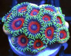 Deepwater Watermelon Zoas  http://FragJunky.com  http://Facebook.com/FragJunkyCorals
