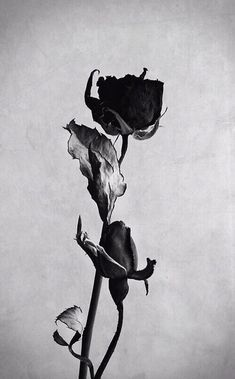 gif photography sad hipster vintage b&w black flower flowers rose Belle Image Nature, Billy Kidd, Beautiful Flowers, Beautiful Pictures, Drying Roses, Foto Art, Rose Wallpaper, Belle Photo, Beauty And The Beast