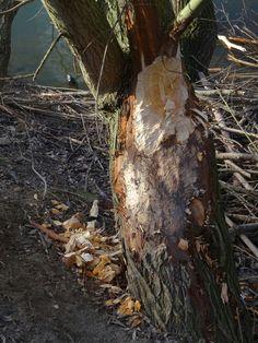 Aangeknaagde boom door bever