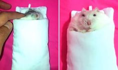 Hamster 'hijacks' owner's new headphone pouch