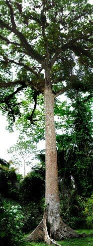 The ceiba tree is considered sacred by the Maya. Its branches and roots represent the levels of the underworld, the earth plane and the heavens. This is a sacred tree at Caracol in western Belize.