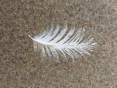 Beach Feather courtesy of the Oregon Coast