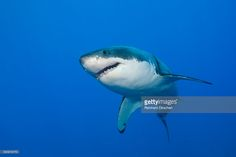 Stock Photo : Great White Shark, Guadalupe Island