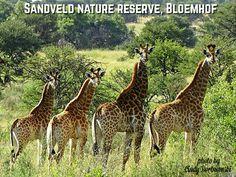 Sandveld nature reserve, Bloemhof, giraffes Nature Reserve, Giraffes, Animals, Pictures, Animales, Animaux, Animal, Animais, Giraffe