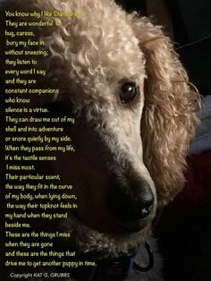 Why I Love Standard Poodles