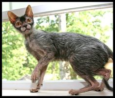 Meet the Lykoi, otherwise known as the werewolf cat! A genetic mutation occurring in healthy, domesticated shorthair cats causes a hair pattern that resembles a werewolf. Lykoi Cat, Werewolf Cat, Outdoor Cats, Domestic Cat, Beautiful Cats, Cat Breeds, Crazy Cats, Cool Cats, Cats And Kittens