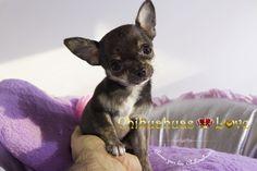 Chihuahuas Love - Ultimas Fotos Hembra Chihuahua Pinki. Hembra Chihuahua Muy Pequeña.