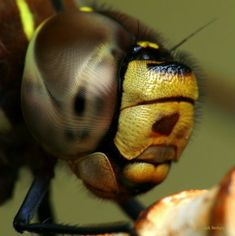 macro-nature-bee-face. Remember this beautiful face just before he stings you.