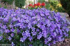 Herb Garden, Garden Plants, Flowers Garden, Home Design 2017, Salvia, Perennials, Yard, Herbs, Blue