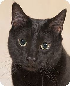 Chicago, IL - Domestic Shorthair. Meet Buster, a cat for adoption. http://www.adoptapet.com/pet/12520422-chicago-illinois-cat