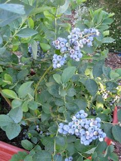 """The Farmer Fred® Rant: Growing Blueberries in Containers. Great tips like """" Give them acidic soil. Use a one-third mix of potting soil intended for camellias and azaleas, peat moss, and small pathway bark, along with a handful of soil sulfur. This will give the blueberries their ideal pH growing range of 5.5."""""""