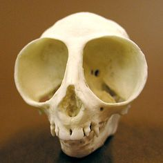 The skull of an Owl Monkey, which evolved disproportionately large eyes to suite their nocturnal lifestyle. - Imgur