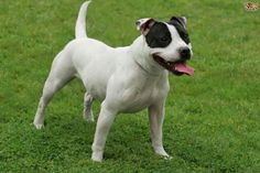 Staffordshire Bull Terriers - Temperament & Colours | Pets4Homes