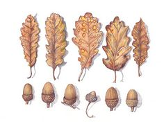 25 DIY Acorn Ideas for Easy & Inexpensive Fall Decor!It's my humble opinion that simple fall decor is the best type of fall decor, and even better if it comes from natural and organic elements-- like the 25 DIY acorn fall decor ideas below.acorn ID (image Botanical Drawings, Botanical Illustration, Botanical Prints, Oak Leaves, Tree Leaves, Acorn Crafts, Leaf Crafts, Acorn And Oak, Tree Identification