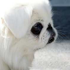 Normally I am not a fan of toy dogs, but this little fellow was so beautiful with a spotless soft white coat and those huge back eyes. Pekingese Puppies, Teacup Puppies, Cute Puppies, Cute Dogs, Dogs And Puppies, Fu Dog, Dog Cat, Baby Animals, Cute Animals