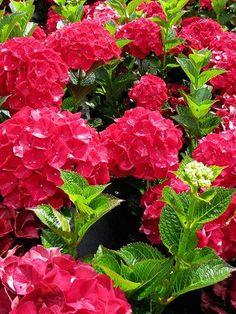 Hydrangea Bloom, Hydrangea Macrophylla, Hydrangea Colors, Red Flowers, Colorful Flowers, Beautiful Flowers, Beautiful Gardens, Hydrangeas For Sale