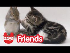 """Kit-Kat"" the cat welcomes three baby squirrels into her little family! Video: http://www.youtube.com/watch?v=ADuSnt6PFn8"