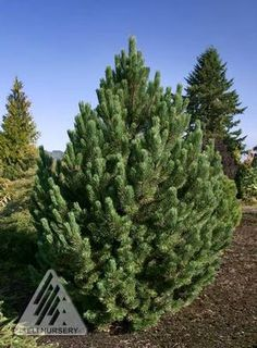1000 images about landscaping trees shrubs amp perennials on pinterest
