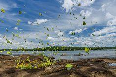 舞い降りたチョウの大群   ナショナルジオグラフィック日本版サイト