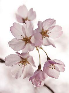sakura by theresa Sakura Bloom, Sakura Cherry Blossom, Sakura Sakura, Cherry Blossoms, Flower Petals, Flower Art, Coeur Tattoo, Beautiful Flowers Wallpapers, Blossom Trees