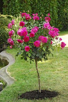 Saule crevette sur tige 380 fleurs et plantes pinterest for Rose piante