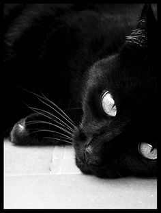 there is no animal in this world that i love more than a black cat